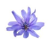 Fiore della cicoria su fondo bianco Immagini Stock Libere da Diritti