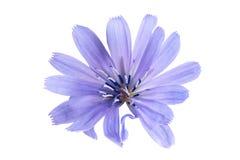 Fiore della cicoria su fondo bianco Fotografie Stock