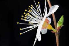 Fiore della ciliegia immagini stock libere da diritti