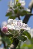 Fiore della ciliegia della sorgente immagini stock