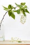 Fiore della ciliegia di uccello Fotografie Stock Libere da Diritti
