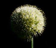 Fiore della cipolla Immagini Stock Libere da Diritti