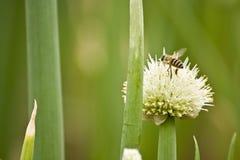 Fiore della cipolla Fotografie Stock