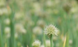 Fiore della cipolla Fotografie Stock Libere da Diritti