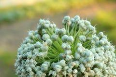 Fiore della cipolla Fotografia Stock