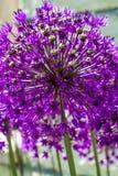 Fiore della cipolla dell'allium Fotografia Stock