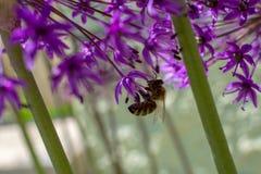 Fiore della cipolla dell'allium con l'ape Fotografie Stock