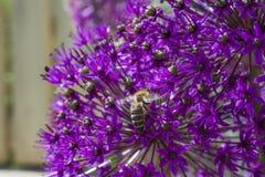 Fiore della cipolla dell'allium con l'ape Fotografia Stock