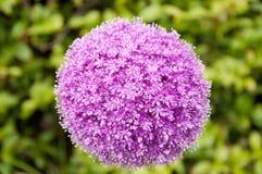 Fiore della cipolla gigante Fotografie Stock Libere da Diritti