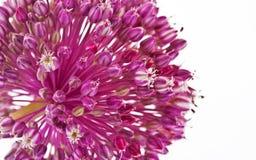 Fiore della cipolla isolato con fondo bianco Immagini Stock