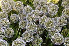 Fiore della cipolla o allium gigante artificiale blu Giganteum Immagini Stock