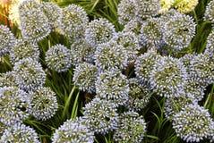 Fiore della cipolla o allium gigante artificiale blu Giganteum Immagine Stock Libera da Diritti