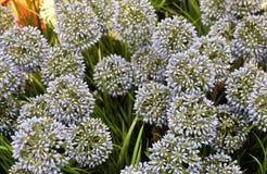 Fiore della cipolla o allium gigante artificiale blu Giganteum Fotografia Stock