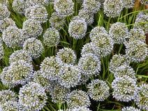 Fiore della cipolla o allium gigante artificiale blu Giganteum Immagini Stock Libere da Diritti