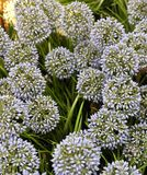 Fiore della cipolla o allium gigante artificiale blu Giganteum Fotografie Stock Libere da Diritti