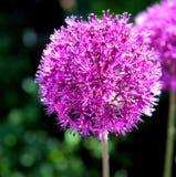 Fiore della cipolla porpora & x28; giganteum& x29 dell'allium; Immagini Stock Libere da Diritti