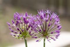 Fiore della cipolla selvatica Immagine Stock