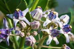Fiore della corona Immagini Stock