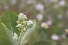 Fiore della corona Fotografia Stock