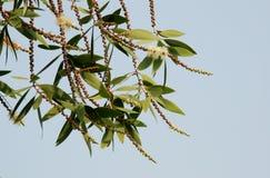 Fiore della corteccia della carta del caieput fotografie stock libere da diritti
