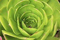 Fiore della costa del Pacifico di Colancha Fotografia Stock
