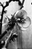 Fiore della cotogna - mono Immagini Stock Libere da Diritti