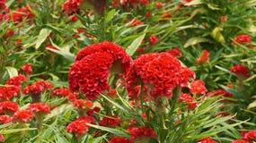 Fiore della cresta di gallo nel giardino immagine stock