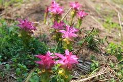 Fiore della curcuma fotografie stock