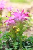 Fiore della curcuma fotografia stock