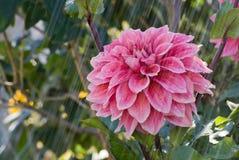 Fiore della dalia Immagine Stock