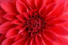 Fiore della dalia Fotografia Stock Libera da Diritti