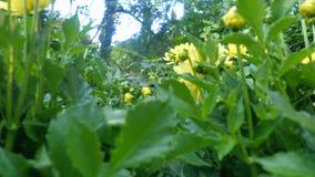 Fiore della dalia alla luce di mattina in giardino verde archivi video