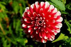 Fiore della dalia di rosa del fiore della dalia Fiore rosa-chiaro copia e spazio immagine stock libera da diritti