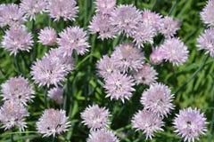 Fiore della erba cipollina Fotografia Stock
