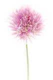 Fiore della erba cipollina Immagini Stock