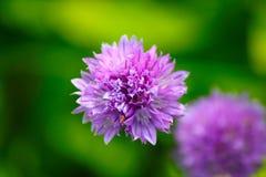 Fiore della erba cipollina Immagine Stock Libera da Diritti