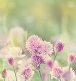Fiore della erba cipollina Fotografia Stock Libera da Diritti