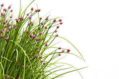 Fiore della erba cipollina contro bianco Fotografia Stock Libera da Diritti