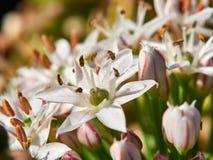 Fiore della erba cipollina di aglio Immagini Stock