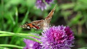Fiore della erba cipollina e farfalla dipinta di signora video d archivio