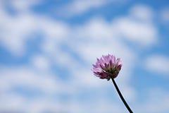 Fiore della erba cipollina isolato contro i cieli blu Fotografia Stock Libera da Diritti