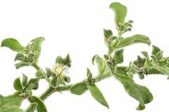 Fiore della fabbrica del ghiaccio Immagine Stock Libera da Diritti
