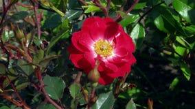 Fiore della fine della rosa rossa su video d archivio