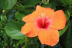 Fiore della fioritura dell'ibisco Fotografie Stock