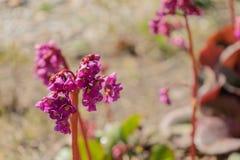 Fiore della fioritura della primavera Fiore del fiore Dettaglio sul fiore della molla Immagini Stock Libere da Diritti