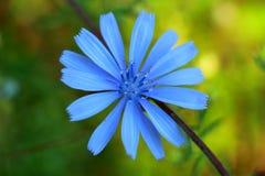 Fiore della foto della cicoria Immagine Stock Libera da Diritti