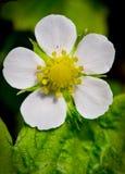 Fiore della fragola Fotografie Stock Libere da Diritti
