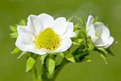 Fiore della fragola Fotografie Stock