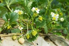 Fiore della fragola Fotografia Stock