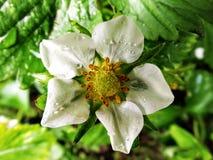 Fiore della fragola Immagine Stock Libera da Diritti